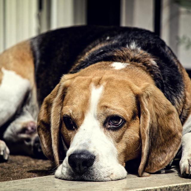 """""""Bored Basset Hound"""" stock image"""