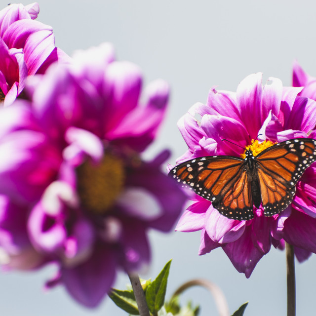 """Butterfly and Flowers"" stock image"