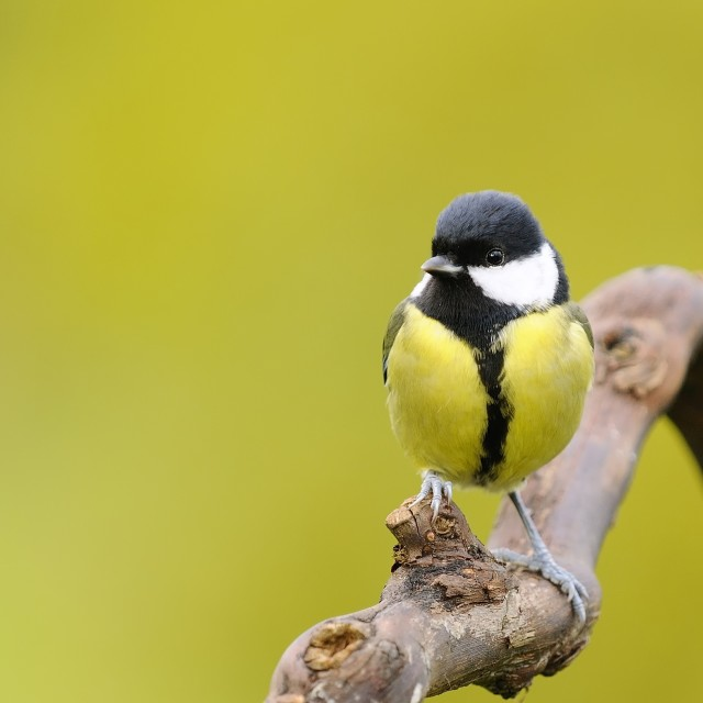 """""""Great tit."""" stock image"""