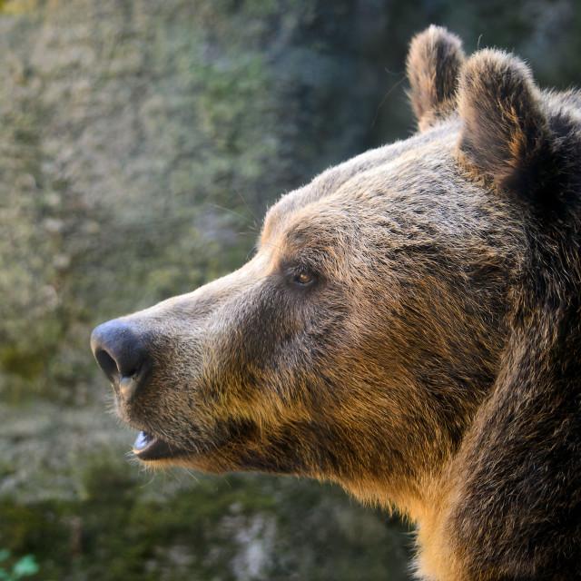 """Marsican Brown Bear"" stock image"