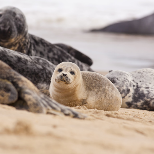 """Baby Seal"" stock image"