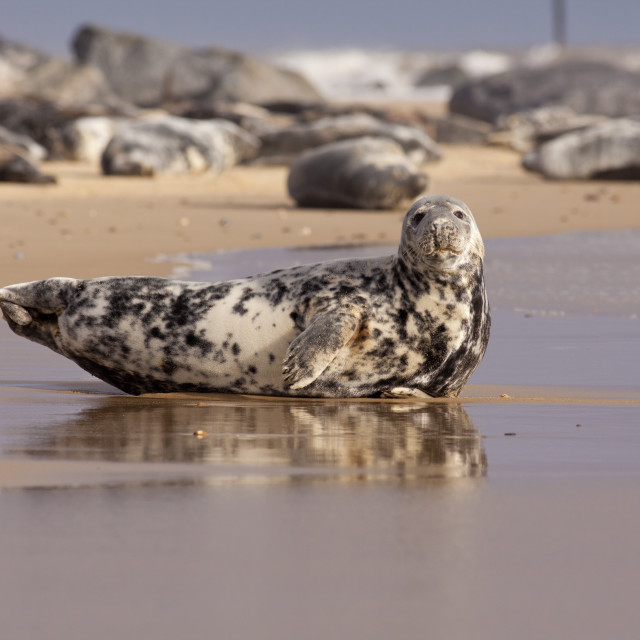 """Seal"" stock image"