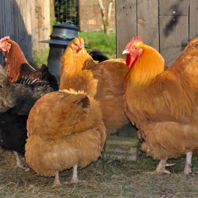 """""""orpington hens and rooster"""" stock image"""