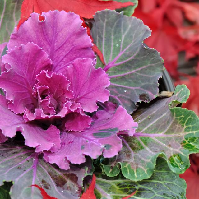 """ornamental cabbage"" stock image"