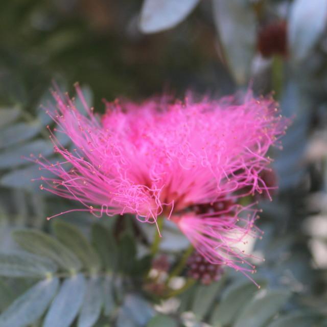 """Guatemalan Flower, Antigua"" stock image"