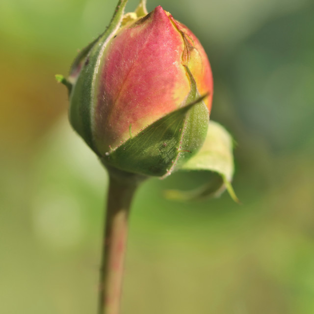 """bud of rose"" stock image"