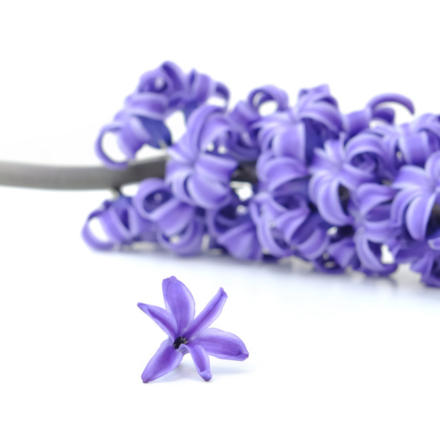 """flower of purple hyacinthe"" stock image"