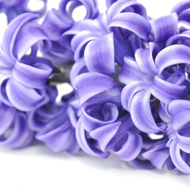 """closeon flower of hyacinthe"" stock image"