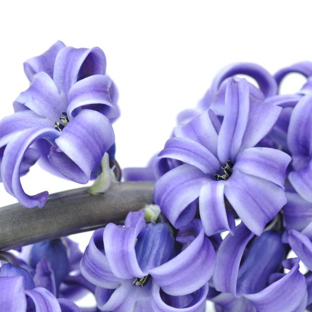 """flower of purple hyacinth"" stock image"