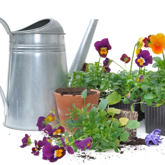 """planting small flowers ""viola"""" stock image"