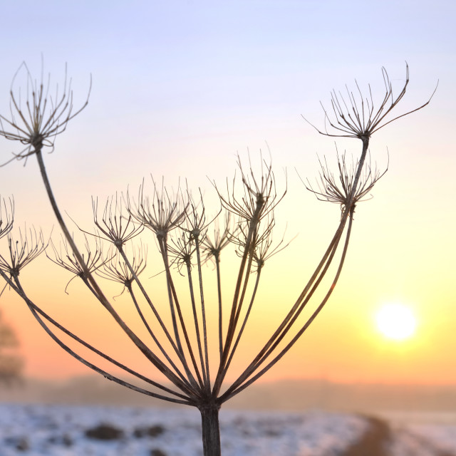"""wild parsnip in winter"" stock image"