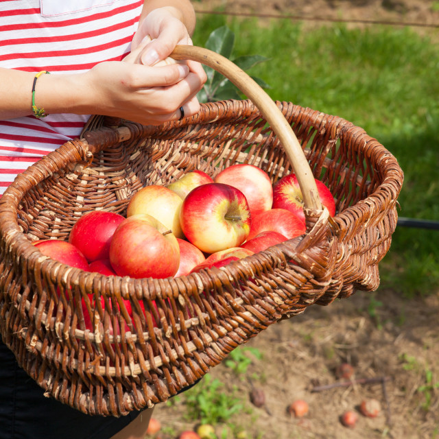 """woman apple orchard"" stock image"