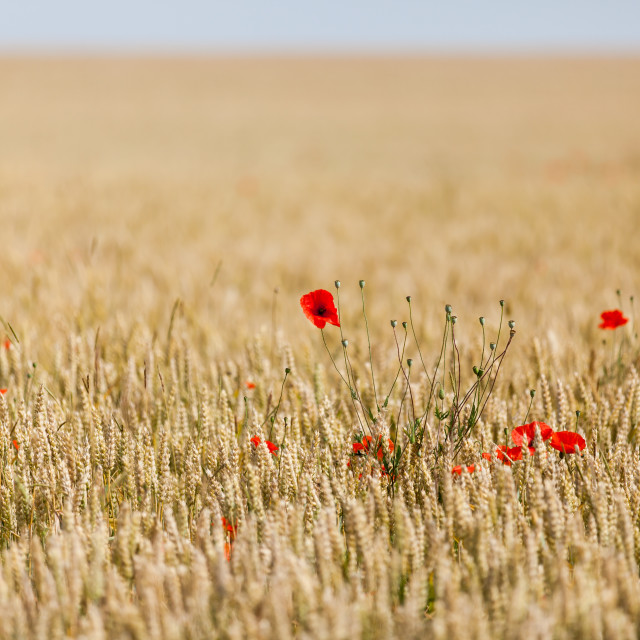 """poppies in a field of wheat"" stock image"