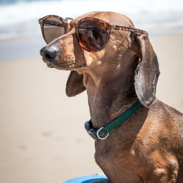 """""""Dog in the beach with sunglasses"""" stock image"""