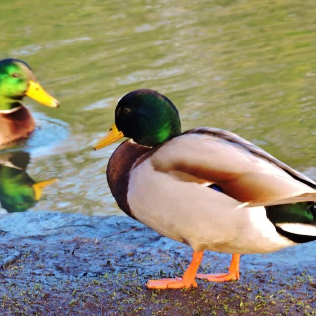 """Mallard Duck."" stock image"