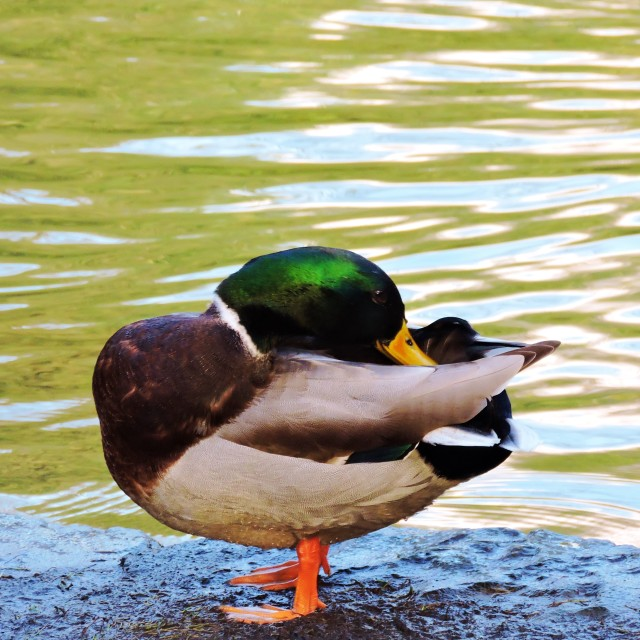 """Mallard Duck."" stock image"