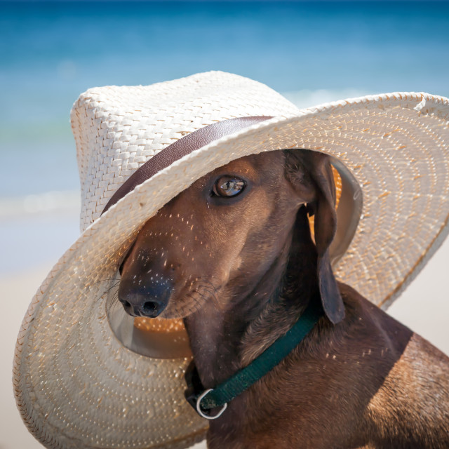 """""""Dog with hat on the beach"""" stock image"""
