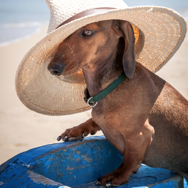 """""""Dachshund dog with hat on the beach"""" stock image"""