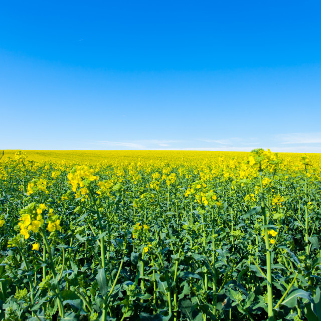"""rape fields in bloom"" stock image"