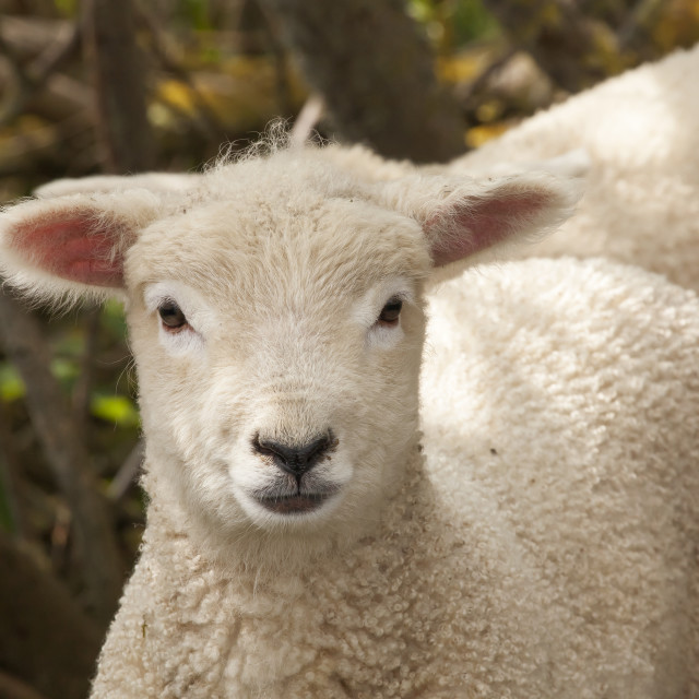 """A Spring Lamb"" stock image"