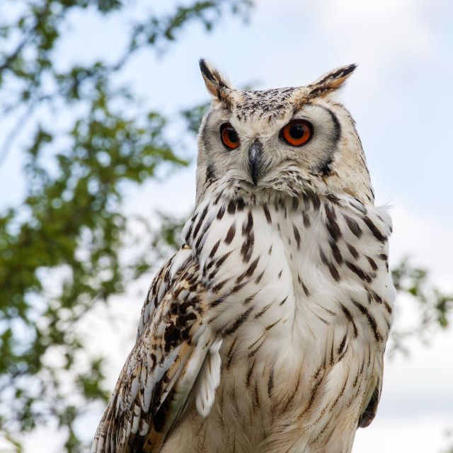 """Bengle Eagle Owl"" stock image"