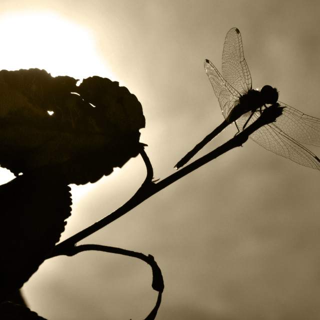 """""""Dragonfly Silhouette"""" stock image"""