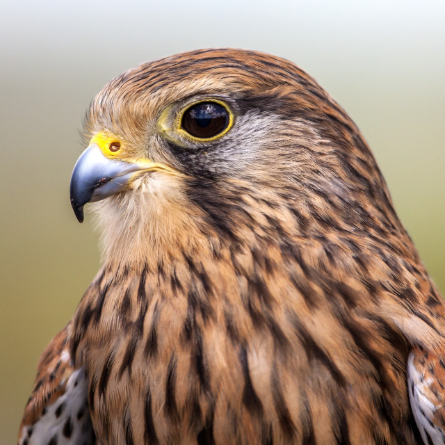 """Kestrel Bird of Prey"" stock image"