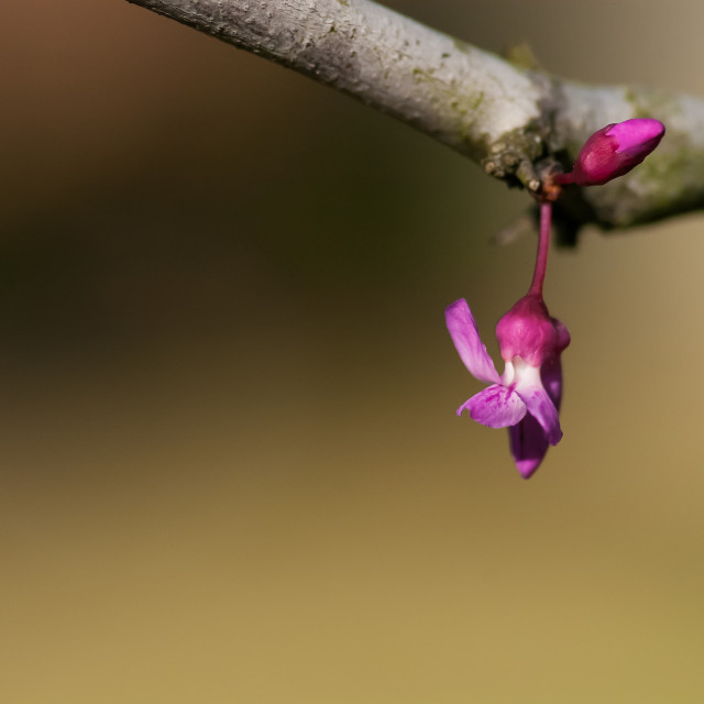 """Texas Redbud loner"" stock image"