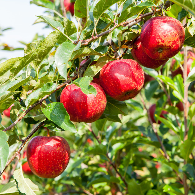 """apple trees loaded with apples in an orchard in summer"" stock image"