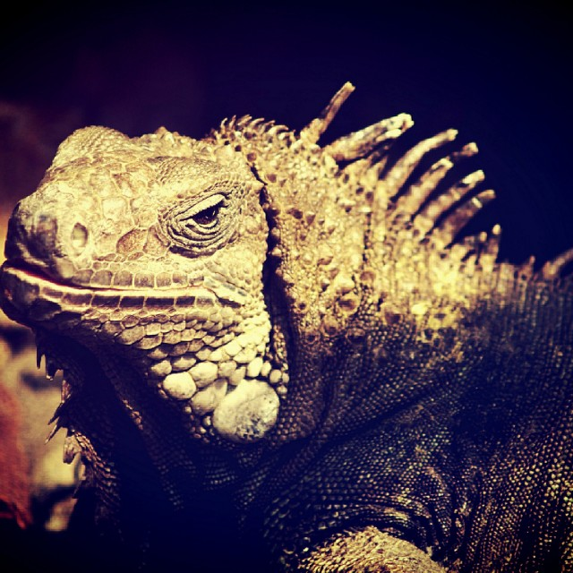 """iguana lizard dragon in zoo"" stock image"