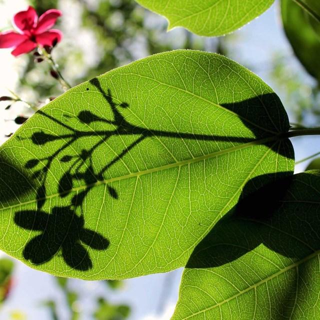 """Leaf shadow"" stock image"