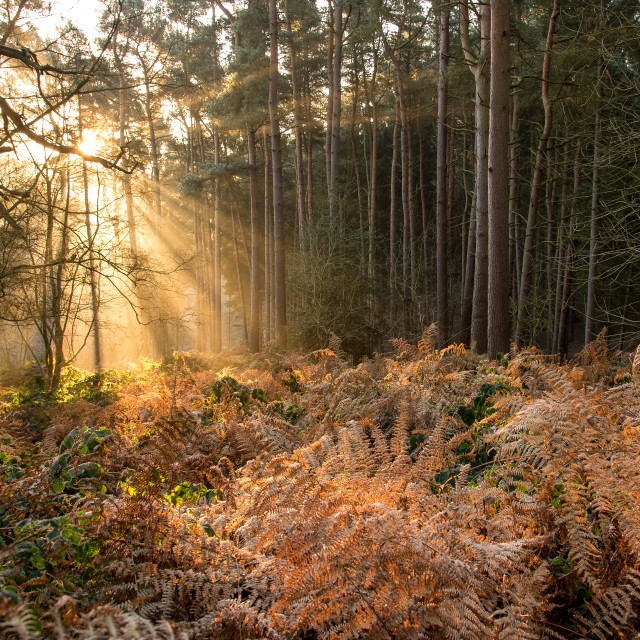 """""""First Light at Stockgrove"""" stock image"""