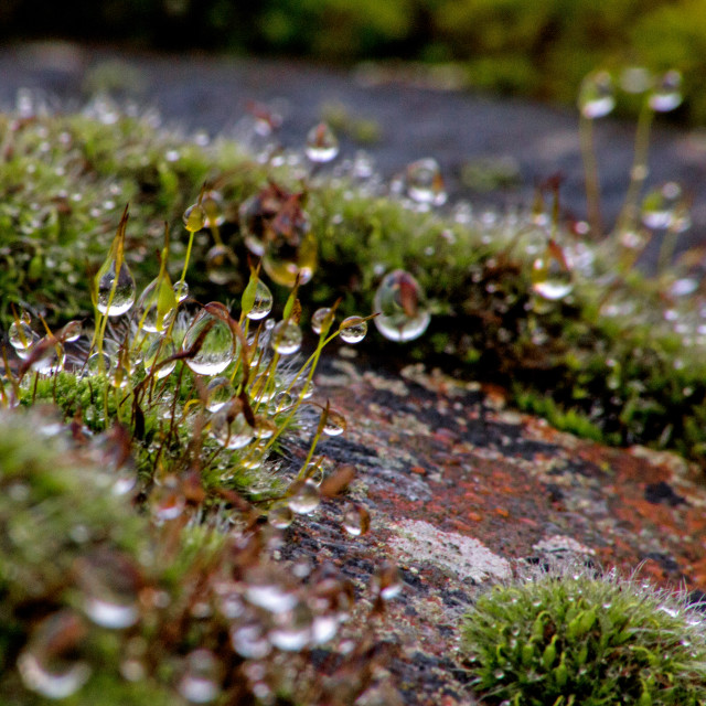 """""""Moss and Dew"""" stock image"""