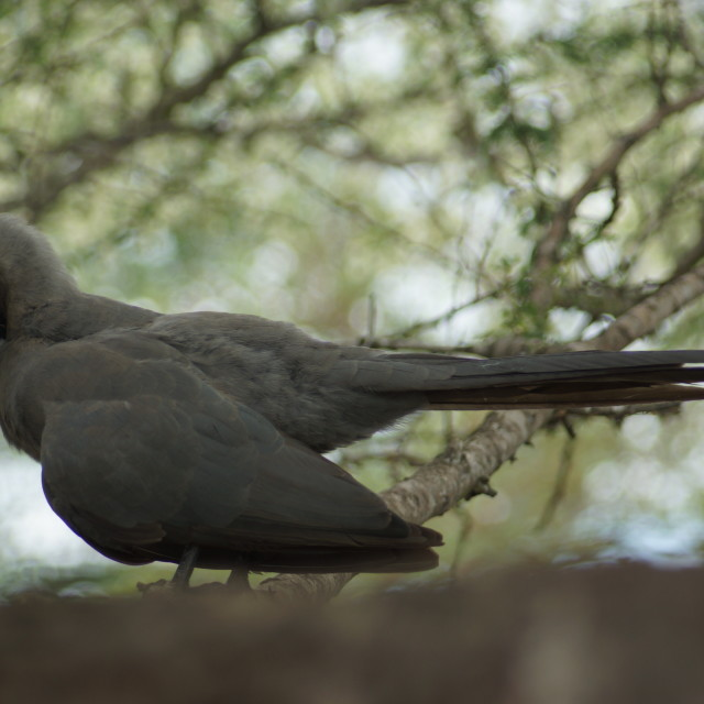 """Grey Laurie Bird cleaning itself"" stock image"