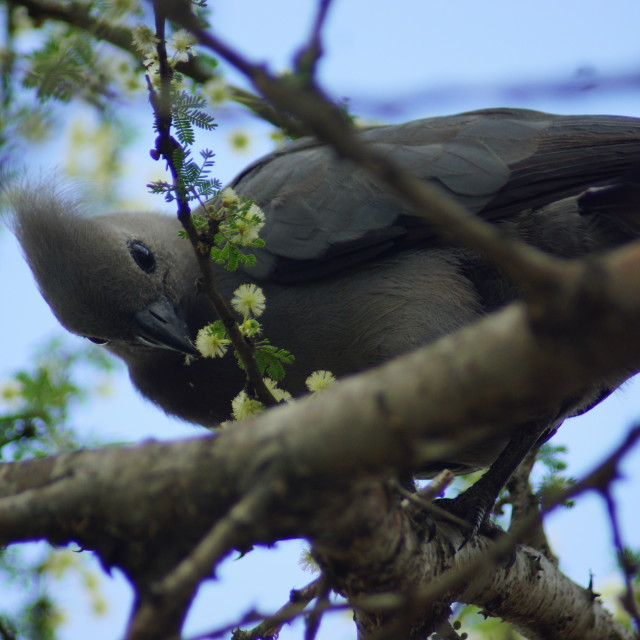 """""""Grey Laurie Bird eating flowers"""" stock image"""