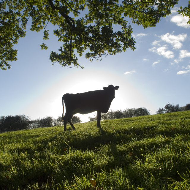 """""""Cow silhouetted against the sun"""" stock image"""