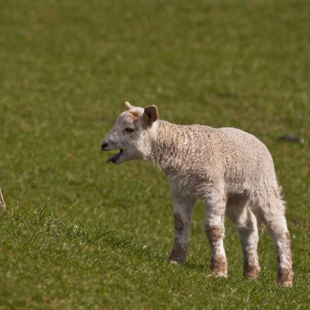 """Lamb looking for mother"" stock image"