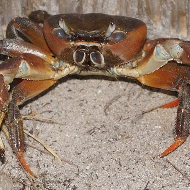 """""""Crab, Land Crab"""" stock image"""