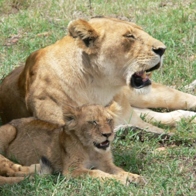"""Lioness with cub. Spitting image likeness."" stock image"