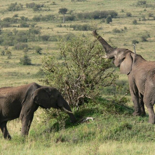 """""""Free elephant couple eating little trees."""" stock image"""