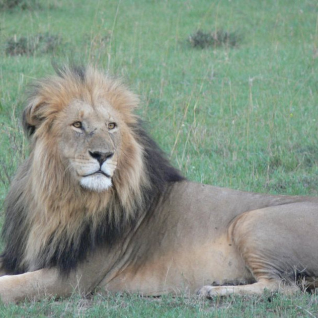 """Male lion at sundown"" stock image"