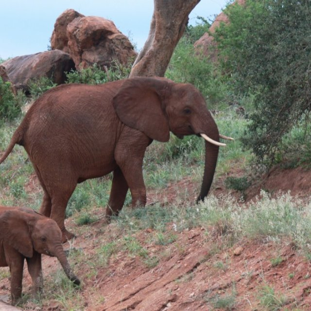 """Free elephant mother and baby"" stock image"