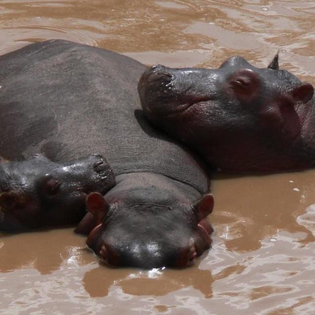 """Free hippos using their hippo-pillow"" stock image"