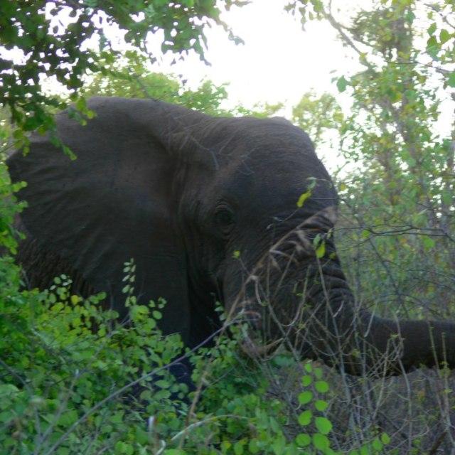 """Elephant head in the bush"" stock image"