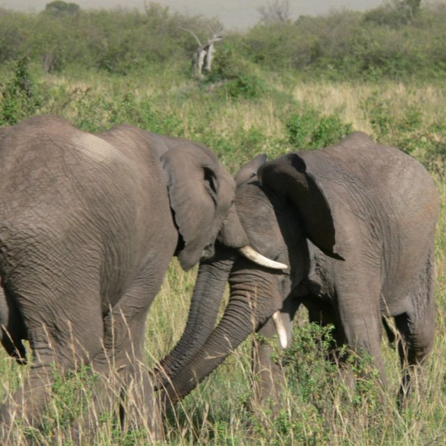"""Elephant bulls fighting friendly"" stock image"