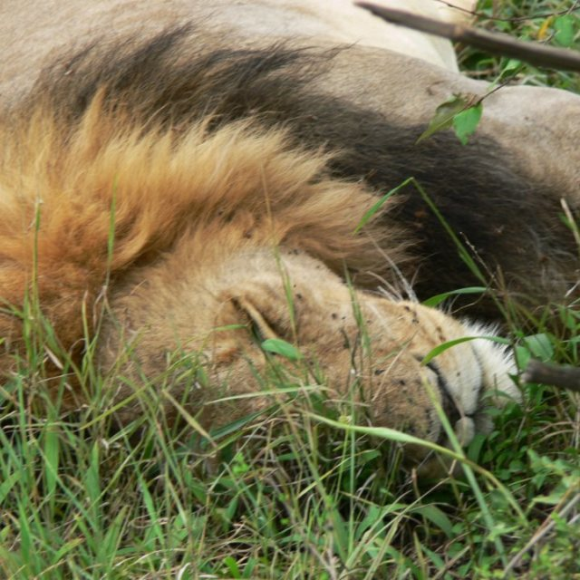 """Free lion male resting"" stock image"