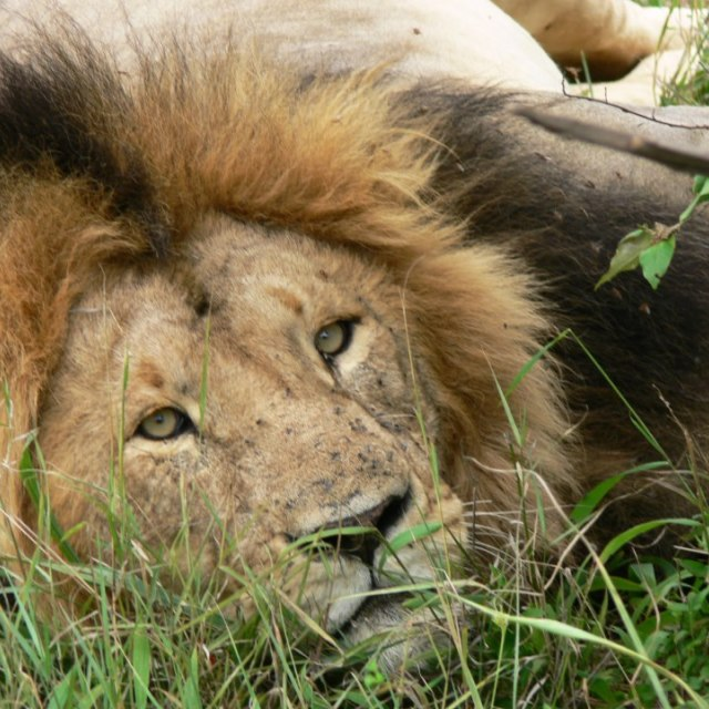 """Free lion male resting but checking us out"" stock image"