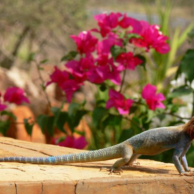 """Colorful lizard and colorful pink flowers"" stock image"