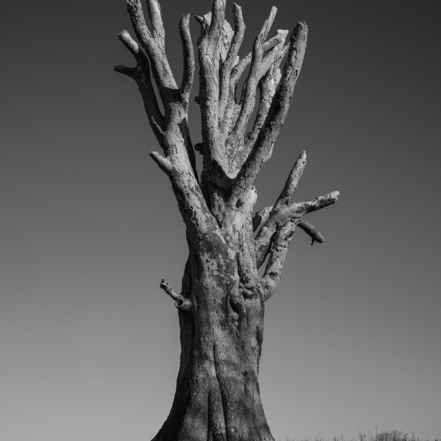 """Old Tree"" stock image"