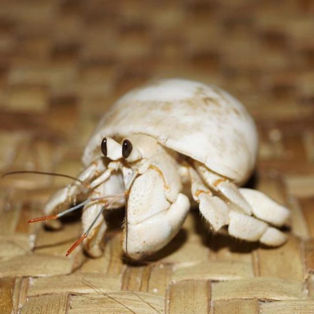 """Maiden white hermit crab"" stock image"